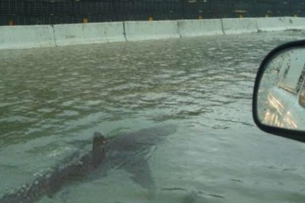 New Orleans Shark