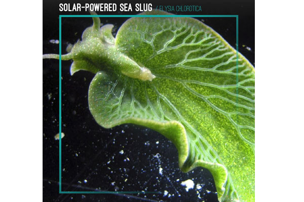 Solar-Powered Sea Slug