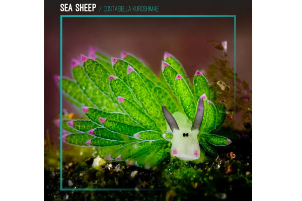 "6. ""Sea Sheep"""