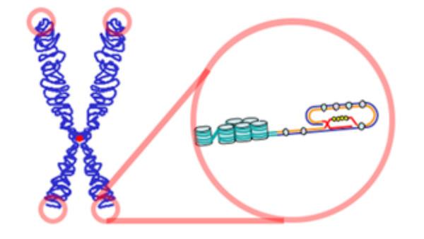 Telomere Cap
